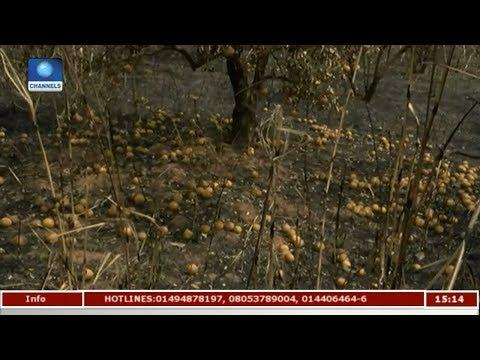 Ondo,Kwara Farmers Complain Of Farms Destruction   News Across Nigeria  