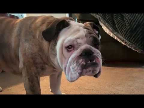 reuben-the-bulldog-trouble-ahead-troubled-behind