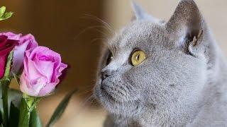 британские котята. Доброе спокойное видео(британские котята. Доброе спокойное видео. Посмотрите как играют эти пушистые комочки., 2016-07-27T07:16:39.000Z)