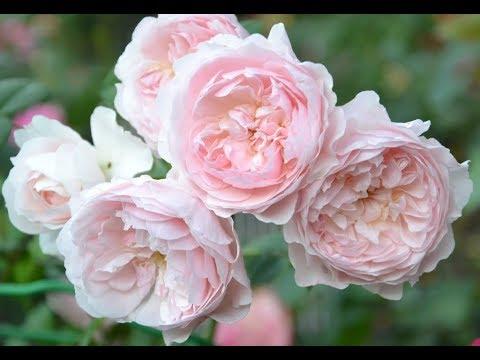 английская роза Визли 2008(Wisley 2008 ),видеообзор