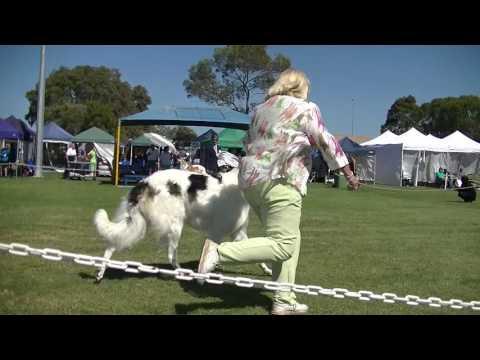 Dog show BORZOI in Melbourne on December 3rd 2016 E
