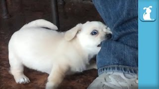 Golden Puppy Fights Jeans In Slow Motion - Puppy Love