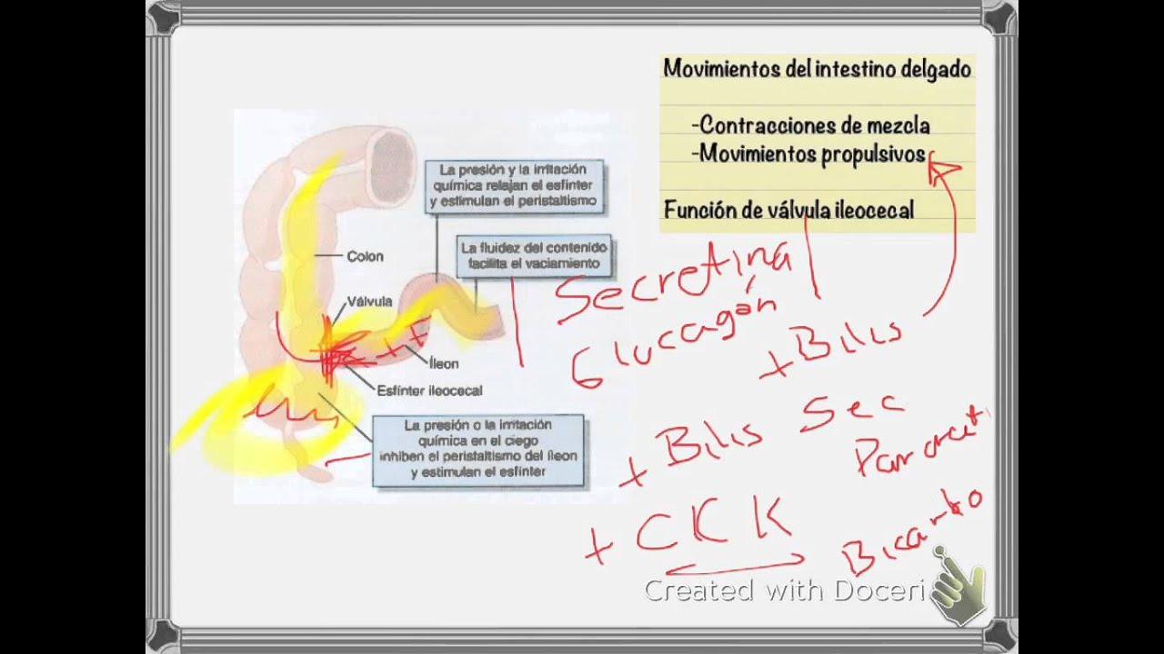 Anatomía y Fisiología l Aparato Gastrointestinal - YouTube