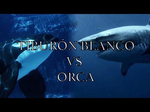 Tiburón Blanco VS Orca