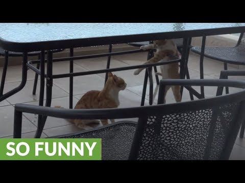 Kung fu kitty uses epic karate move in cat fight