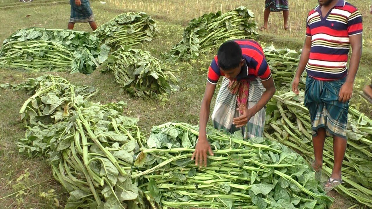 মালচিং পদ্ধতিতে পুঁইশাক চাষ - ড্রাগন ও পেয়ারা বাগানে পুঁইশাক চাষে বিস্ময়কর সাফল্য  Malabar Spinach