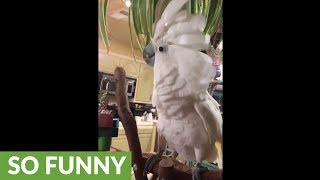 Festive cockatoo sings & dances to Christmas music