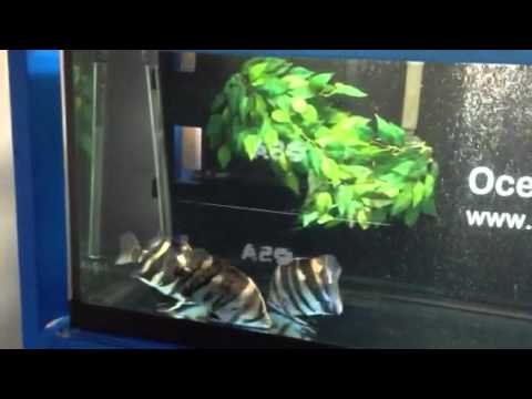 Indo datnoids and aba aba knife fish youtube for Aba aba knife fish