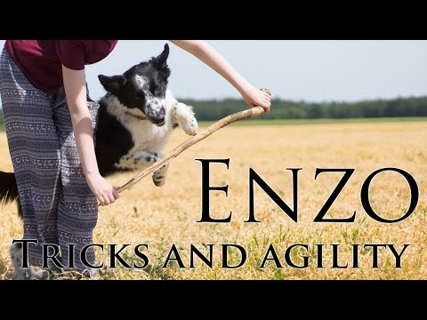Enzo the Border collie || King of Love