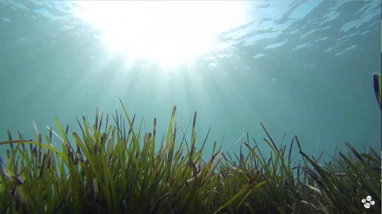 seagrass genome unlocks the secrets of saltwater adaptation youtube
