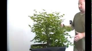 Bonsai styling japanese maple coral bark pt 8