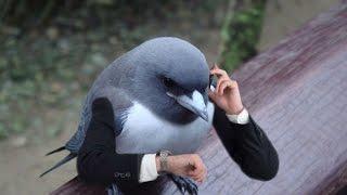 """""""BRAZEN Birds"""" - Fresh Compilation"""" - ОЧЕНЬ НАГЛЫЕ ПТИЦЫ"""" Подборка приколов Январь 2016"""