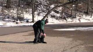 Leo (black Labrador Retriever) Boot Camp Level I. Dog Training