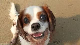 Charles, Cavalier King Charles Spaniel. Jumping About At The Beach
