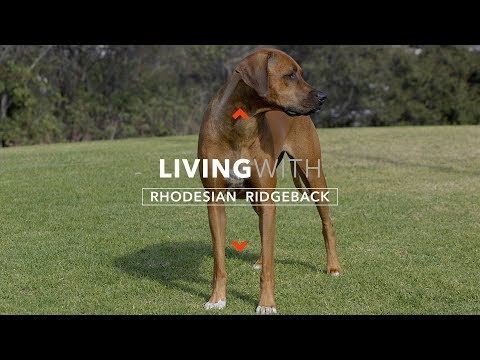 ALL ABOUT LIVING WITH RHODESIAN RIDGEBACKS