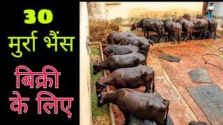Download lagu एक बार फिर देखिए 14-25 किलोग्राम दूध देने वाली शानदार मूर्राह भेंस। Randeep Malik, Jind