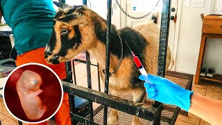 Breeding our MINIATURE goat (with Artificial Insemination) PART 3