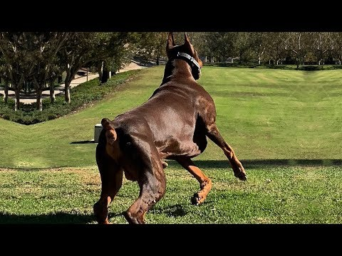 BEST OF DOBERMAN | THE SUPER INTELLIGENT DOG