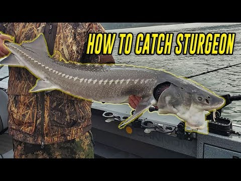 How To Fish Sturgeon, In Depth Tutorial For SUCCESS. (FISH ON!)