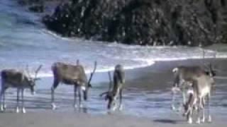 Norway Finnmark reindeer  Berlevåg  0001