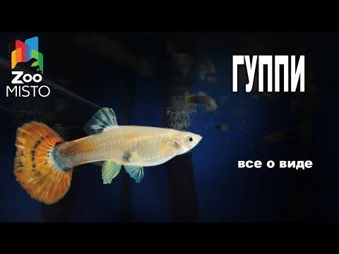 Гуппи Все о аквариумной рыбке