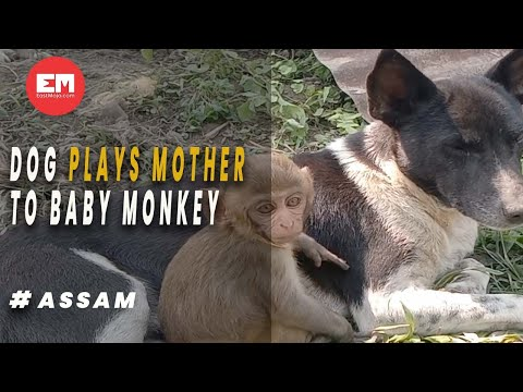 A dog in Assam's Sivsagar plays mother to baby monkey