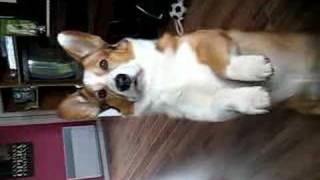 "Dragon Buster, The Cardigan Welsh Corgi Perfects ""the Wave"""