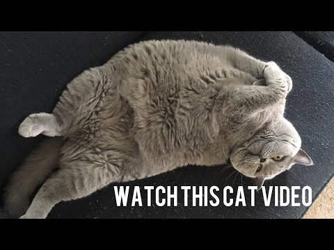 Gratuitious British Shorthair Cat Footage