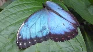 Butterflies at RHS Wisley - Blue Morpho - Fiðrildi - Fiðrildagarður