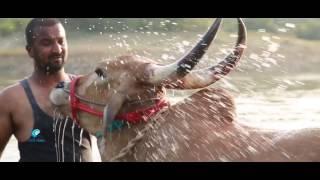 Save jallikattu bulls from slaughter....,