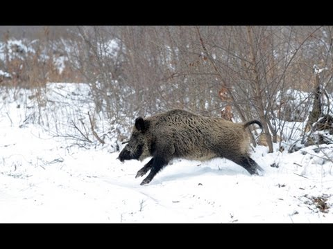 The Shooting Show - German wild boar, woodcock and rimfire coots
