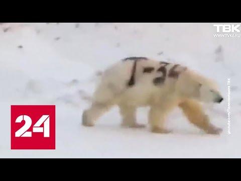 Медведи грязи не боятся: кто и зачем изрисовал белого медведя? - Россия 24