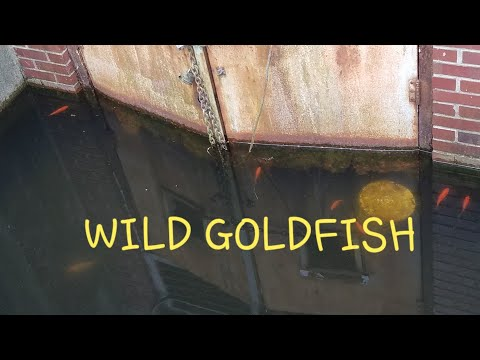 WILD (feral) goldfish in abandoned building!