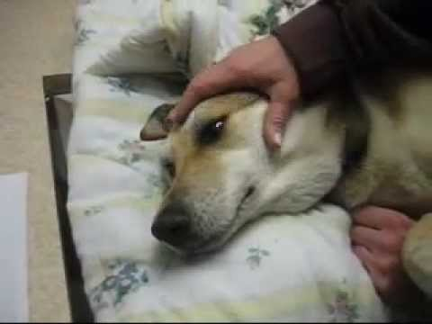 VIEWER DISCRETION IS ADVISED April 24 2007 - Shadow getting put down at the Vet