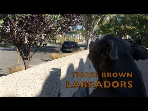 Barking Brown Labradors | My Dog's Obnoxious Neighbors
