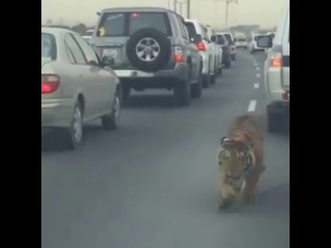 Pet Tiger on a Busy Highway Doha, Qatar
