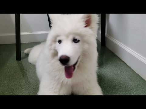 Husky Puppy Goes To The Vets