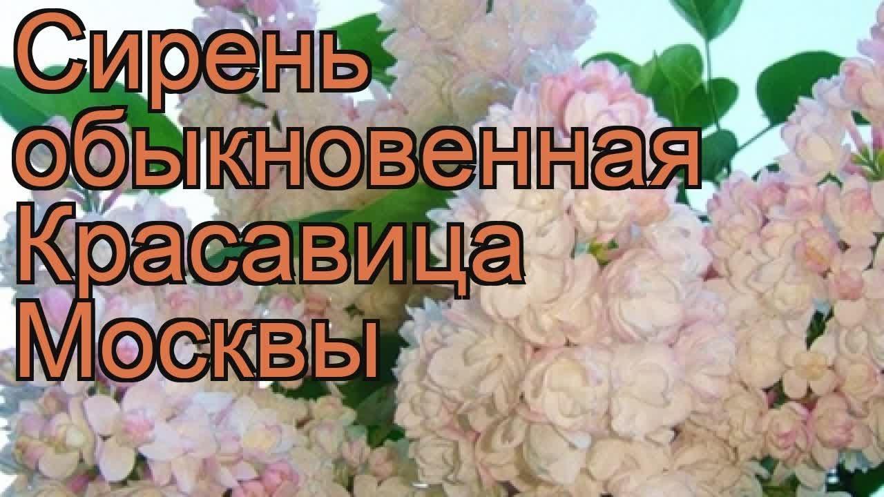Рябина смешанная. Sorbus commixta. Рябина. Системы, цена, купить. 130 150, 3xv, c15, 1700. 00 руб. (sorbus 'dodong'). Рябина обыкновенная.