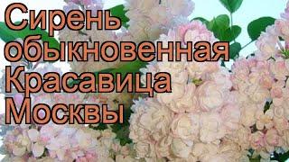 Сирень обыкновенная Красавица Москвы ???? обзор: как сажать, саженцы сирени Красавица Москвы