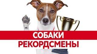 СОБАКИ РЕКОРДСМЕНЫ. Самая большая собака в мире. Самая умная собака. Самая маленькая собака.