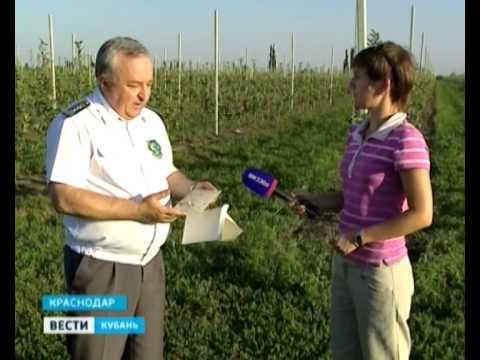 Кубанские агрономы делают все, чтобы не допустить распространения плодожорки