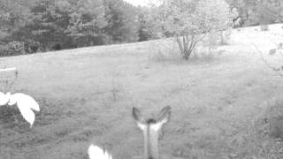 Big doe creeps out into the meadow.  Central, NC.