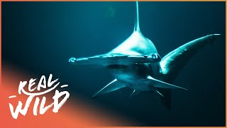 Swimming With The Atlantic's Most Dangerous Sharks (Wildlife Documentary) | Savage Wild | Real Wild