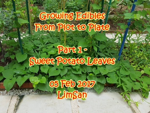 Singapore LimSan: Growing Edibles From Plot to Plate Part 1 - Sweet Potato Leaves