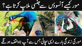 MOST AMAZING FACTS ABOUT PEACOCK || PEACOCK LIFE DOCUMENTARY IN URDU || Urdu Discovery