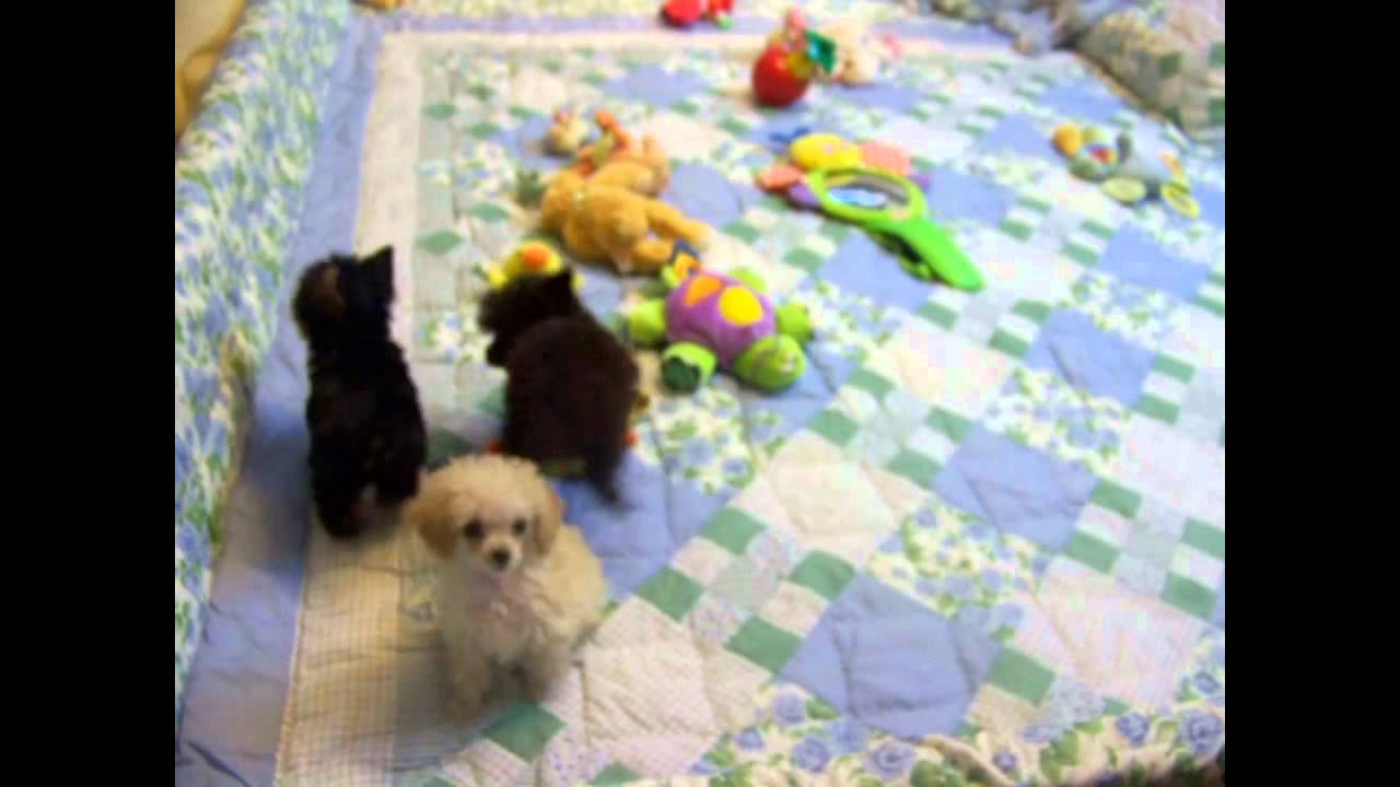 Apricot Tiny Toy Poodleteacup Poodlestoy Poodle Puppies For Sale