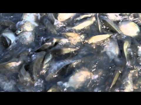 TILAPIA FISHCAGE UBAY BOHOL