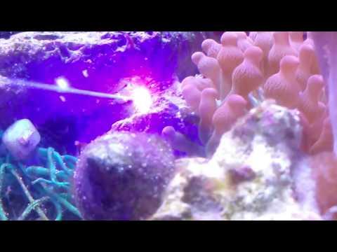 Killing Aiptasia,  5 Watt  Laser Review