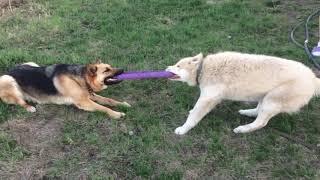 Овчарка против Хаски