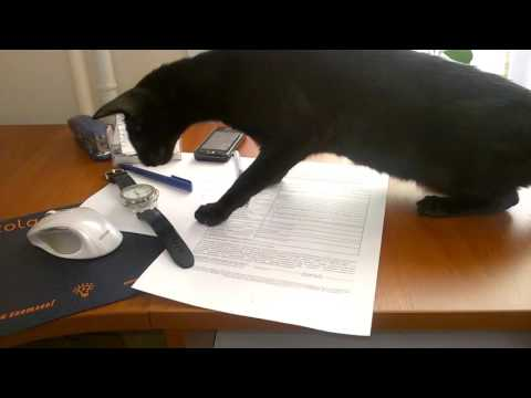 Young Oriental shorthair cat hunts for swiss wristwatches LeTemps Octopus